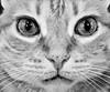 mirada ( Más bello que el silencio ) Tags: animal bn gato mirada primerplano cruzadas a3b cruzadasgold fotosconcorazónypasión