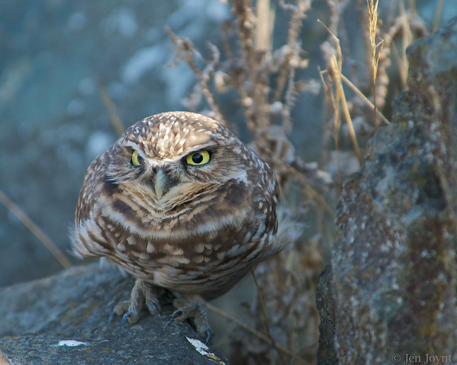 Burrowing owl returns for the winter