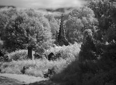 windswept memorials (Johnson Cameraface) Tags: 2017 july summer olympus omde1 em1 micro43 mzuiko 1240mm f28 johnsoncameraface yorkcemetery yorkshire york northyorkshire cemetery ir infrared blackandwhite monochrome