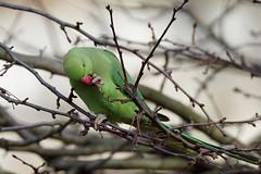 a rose ringed parakeet in a tree (1) (Franck Zumella) Tags: rose ringed parakeet perroquet green vert tree arbre eat manger bird oiseau collier perruche