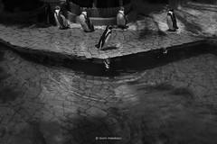 _DSF3775_ORIGINAL-FORMAT-2 (izumi masakazu) Tags: monochrome bw streetsnap park bird penguin aquarium shadow silhouette light water watersurface refraction zoo plant 公園 鳥 ペンギン 水族館 影 シルエット 光 水 水面 屈折 動物園 植物 木 樹