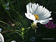 Naturaleza viva con la alegría de los Cosmos  016 (adioslunitaadios) Tags: masíadeteulada airelibre campo plantasyflores cosmos pétalos colores flores macros fujifilm naturaleza
