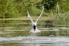 HNS_5546 Visdief : Sterne pierregarin : Sterna hirundo : Fluss-Seeschwalbe : Common Tern