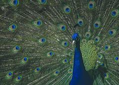 richard the proud (rockinmonique) Tags: juneflickrgalsmeetup eleven peacock bird filltheframe portrait blue green moniquew canon canont6s tamron copyright2017moniquew