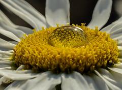 Magnified Naturaly. (Omygodtom) Tags: natural nikkor nature nikon magnified flower daisy white yellow outdoors outside macro bokeh tamron90mm tamron dof d7100 contrast digital diamond star flora 7dwf bnw leica flickr