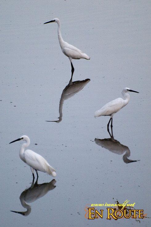 Sungei Buloh Egrets