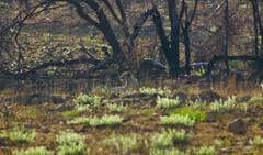 IMG_3370 (Trevi2009-) Tags: africa animals fauna southafrica wildlife safari animales mammals mamiferos sudafrica