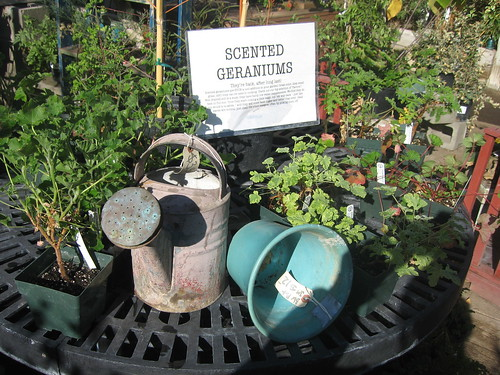 Scented geraniums and vintage garden accessories