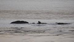 European Otter (Lutra lutra) 15 Dec-09-16 (tim stenton www.TimtheWhale.com) Tags: winter mammal scotland innerhebrides argyll otter isleofmull mull hebrides mustelid lochtuath lutralutra europeanotter landmammal eurasianotter tostary