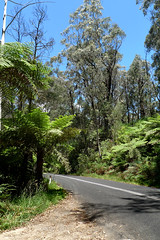 megalong valley (AS500) Tags: road blue mountains fern tree australia valley nsw megalong