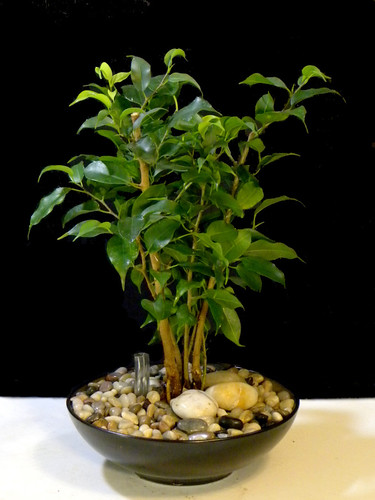 6 Month Old Ficus benjamina Converted to Hydroculture