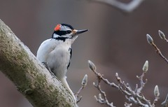 [フリー画像] [動物写真] [鳥類] [野鳥] [セジロアカゲラ]       [フリー素材]