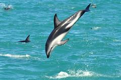 RtW2009 205 Dusky Dolphins - Kaikoura Dolphin Encounter (mothclark62) Tags: newzealand wildlife southisland kaikoura duskydolphin dolphinencounter