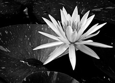 solitary (bdaryle) Tags: blackandwhite bw flower nature droplets waterlily lily sony flor bn single solitary lilypad blackwhitephotos brandondaryle bdaryle imagesbybrandon