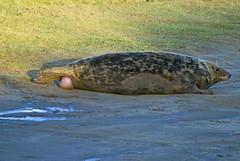 Giving birth...1 (Eco Heathen) Tags: birth sealife donnanook lbp5900b