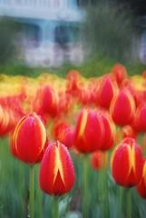 Tulip 鬱金香 (HBW) (MelindaChan ^..^) Tags: flowers red plant green yellow 50mm tulip macau 澳門 鬱金香 f35 worldsfavorite hbw sooc boekh russianreflexlens melindachan