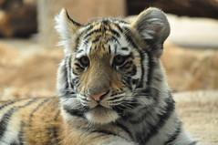 Tiger Cubs (kim schar) Tags: tiger tigers nuri bigcats tigercubs tula tigercub milwaukeezoo milwaukeecountyzoo nikond90