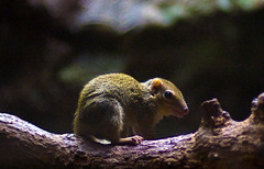Nocturnal Rodent On Branch (aeschylus18917) Tags: nature japan mammal 50mm zoo tokyo rodent nikon nocturnal wildlife   edit uenozoo nkon nikkor50mmf14d 50mmf14d 50mm14d  d700 onshiuenodbutsuen nikond700 danielruyle aeschylus18917 danruyle druyle