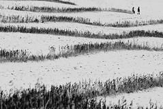 Stoppelwellen (andreas.zachmann) Tags: schnee winter deutschland felder menschen landschaft stein spaziergang wellen badenwrttemberg knigsbachstein