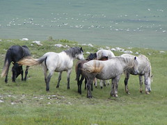 Konji sa Kruga (33) (brian395) Tags: summer mare pony 2009 stallion foals livno cincar basajkovac krugplanina domplanina circlepasture youngponies begovaca