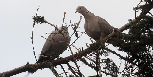 Amorous Collared Dove