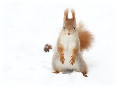 Red Squirrels' Nutkeeper (red R) Tags: football squirrel goalkeeper sciurusvulgaris kapus mkus foodbal