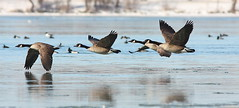 Canada Geese on the Niagara River (Colin Clement Photography) Tags: canada water colin geese wings flight goose waterfowl locked clement colinclementphotographycom colinclement wwwcolinclementphotographycom httpwwwfacebookcompagescolinclementphotography373850850745