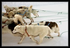 Sledgedogs (Kiddi Einars) Tags: dog snow cold ice dogs greenland grnland icecold sisimiut sledgedogs grnland