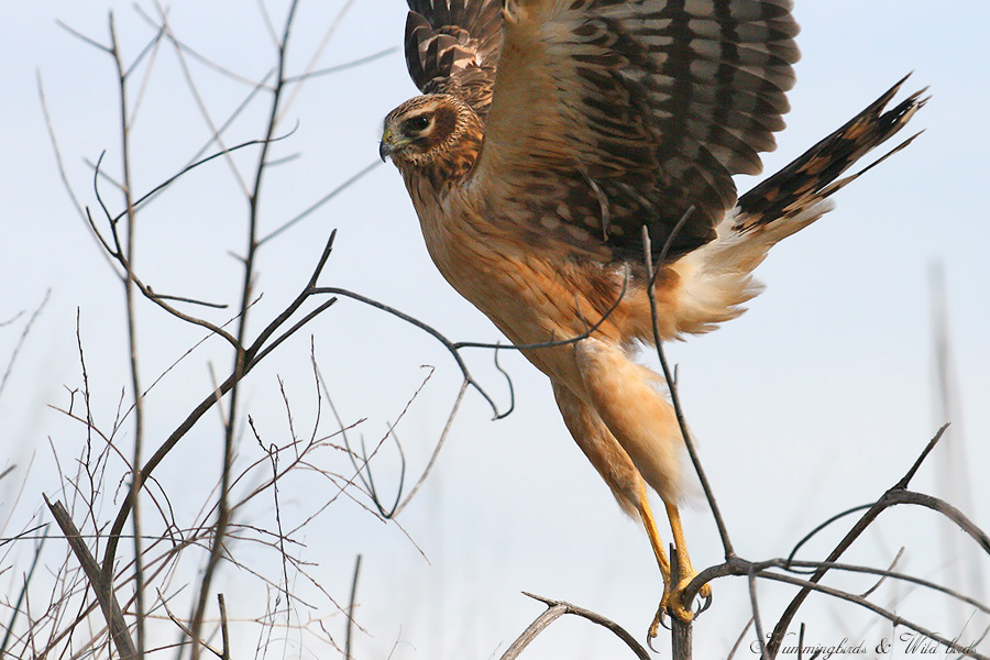Northern-Harrier-120914
