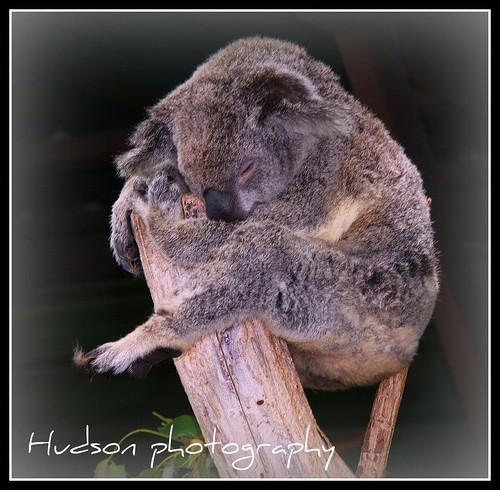 koala bear - lone pine santuary