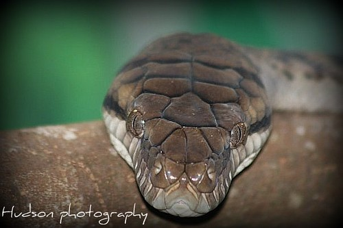 Carpet Python - Australia Zoo by bluecrush1979