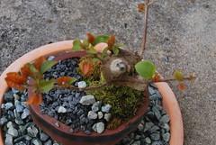 Bougainvillea Bonsai (Xtolord) Tags: plant bougainvillea bonsai xtolord