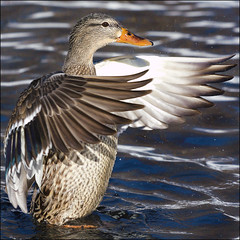 ~ Duck Smile ~ (ViaMoi) Tags: canada reflection bird water speed photography photo duck wings action ottawa feathers freeze splash waterfowl flap avian thisbig viamoi