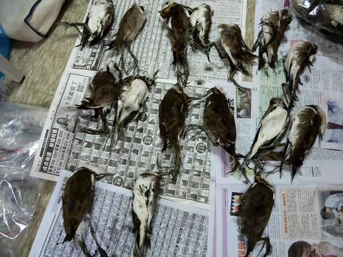 鳥為食亡:因吃食毒穀而死亡的水雉。(圖片來源:水雉生態教育園區)
