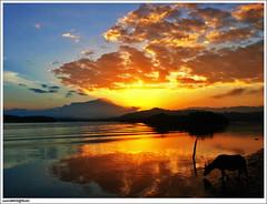 2 Feb: Kerbau mencari makanan di sungai Mengkabong? (sam4605) Tags: sky mountain sunrise river landscape ed buffalo scenery olympus mount malaysia borneo kotakinabalu e3 gunung sabah kinabalu sungai pemandangan tuaran zd gunungkinabalu kerbau mengkabong sabahborneo 1442mm kinabalumount matahariterbit sam4605 sungaimengkabong