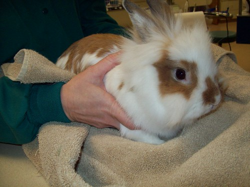 Brown and white lionhead rabbit - photo#12