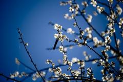 Plum (ddsnet) Tags: plant flower sony plum taiwan   taoyuan 900        900 851 85