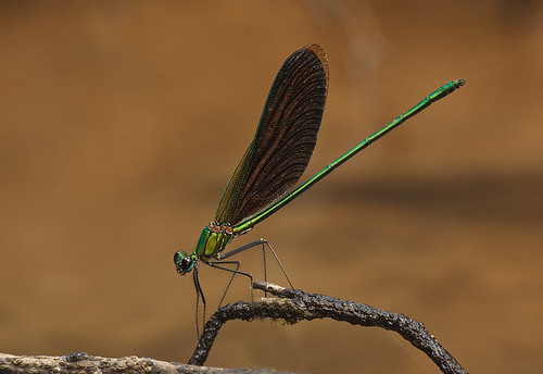 Damselfly - Neurobasis chinensis (male)
