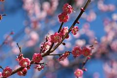 DSCF3482.jpg (William0912) Tags: taiwan plumflower    friendlyflickr
