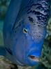 Yellowband angelfish PCF 5539 (Paul Flandinette) Tags: ocean nikon underwater redsea egypt sealife angelfish marinelife oceanlife arabianangelfish pomacanthusmaculosus beautifulfish yellowbandangelfish paulflandinette