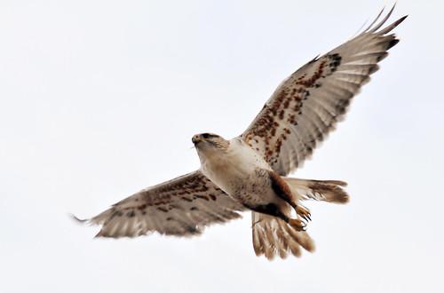 ferruginous hawk near Elberta few tailfeathers