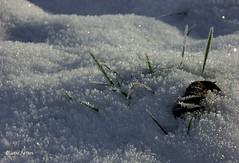 Grass always wins.....sooner or later! (joeke pieters) Tags: winter snow holland nature netherlands grass sparkles leaf frost hoarfrost sneeuw nederland blad gras vorst rijp bej