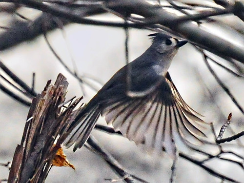 tufted titmouse on the wing