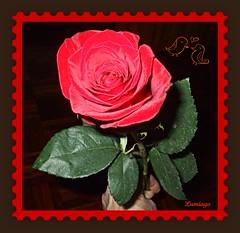 Simplemente para ti!!! (Lumiago) Tags: flores rojo rosa masterphotos brillianteyejewel naturewatcher wonderfulworldofflowers mimamorflowers auniverseofflowers