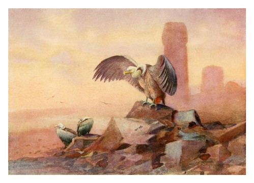 009-Buitre leonado-Egyptian birds for the most part seen in the Nile Valley (1909)- Charles Whymper