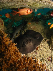 A Marble Ray and a White Tip Reef Shark sharing some shelter under the coral