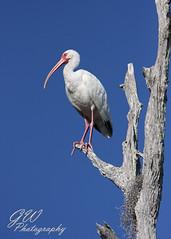 White Ibis In Profile (H2OJunkie) Tags: white bird canon orlando ibis wetlands teleconverter avian 2x canonef70200mmf28lisusm 40d