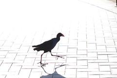 Bird (morribrad) Tags: macro animal animals canon lens australia canberra dslr act 500d