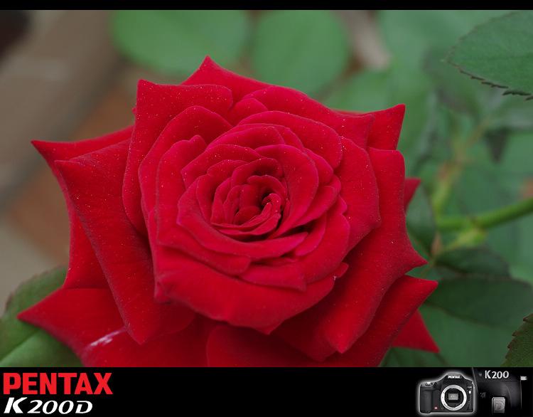 前一陣子拍的玫瑰花...