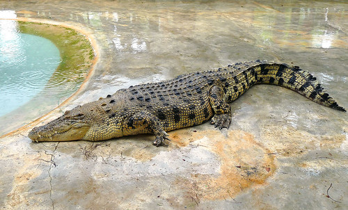 Langkawi Crocodile farm21
